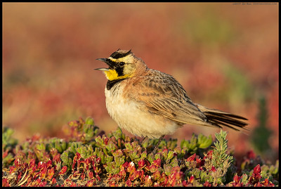 A Horned Lark had landed nearby and just started singing.  It took me a while to slowly move across the sandy area but I did make it in time to catch some closeups of it singing.