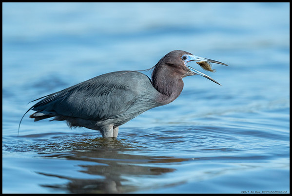 A Little Blue Heron in breeding plumage giving the fish an orientation toss before sending it down the gullet.