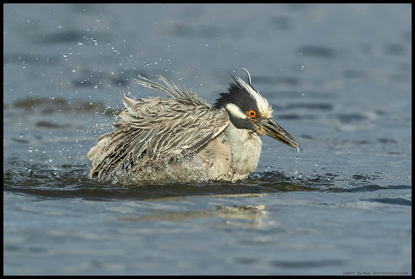 I can't recall ever seeing a Yellow Crowned Night Heron do the full bath routine.