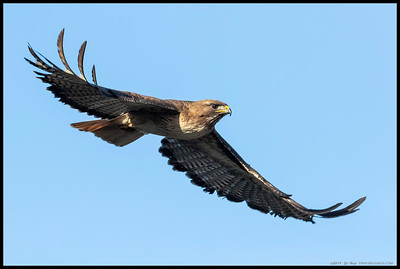 A Red Tailed Hawk just after taking off from a pine tree.