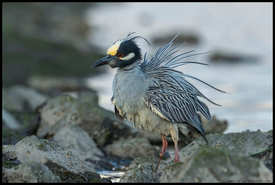 An adult Yellow Crowned Night Heron shaking things up after that last crab feast.
