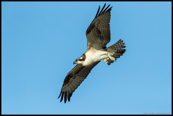 The sole juvenile from this year's nesting, seconds after taking off with a full crop.