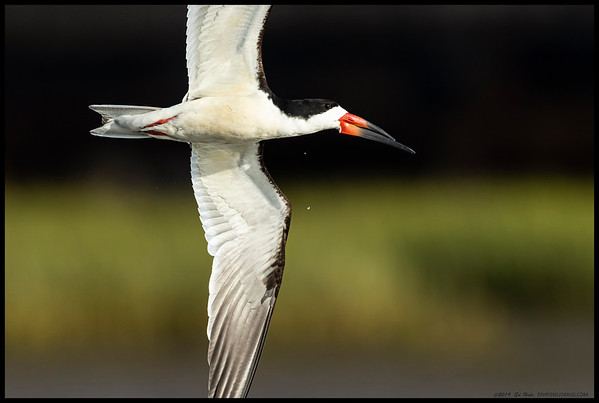 A Black Skimmer on a flyby over the river.