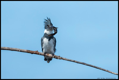 A male Belted Kingfisher in between bouts of hitting his catch against the branch.  At one he actually dropped it and had to quickly recover the fish before the nearby egrets, herons and grebes could grab it.