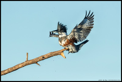 The local female Belted Kingfisher bringing a breakfast snack back to the perch with a little flair.