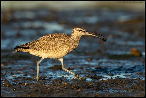 Whimbrel taking the 'Crab To Go' entree.  There was a Willet in hot pursuit but like Roscoe, didn't quite make it.