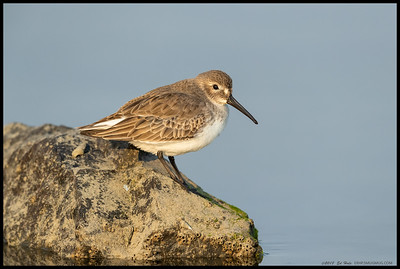 One of the Dunlin who had been slumming with the Western Sandpipers decided to perch upon  nearby rock.