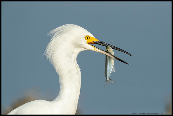 """Here fishy fishy!""  Snowy Egret checking out its catch before 'orientation' class."