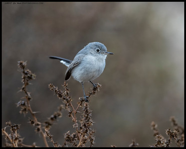 A little Blue Gray Gnatcatcher deciding on which bush will have the best treats.