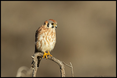 A female American Kestrel perched and watching.  These little falcons do a number of the rodent population.