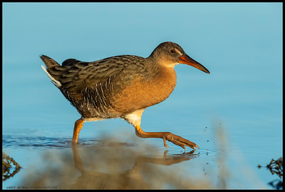A Ridgeway's Rail striding along the calm surface of the tidal channel.