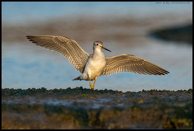 One of the Greater Yellowlegs making a flight into one of the last patches of light and showing off the detail of the wings.