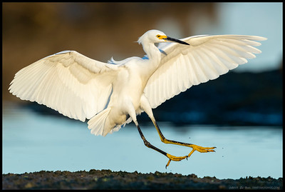 A Snowy Egret a split second before touchdown.