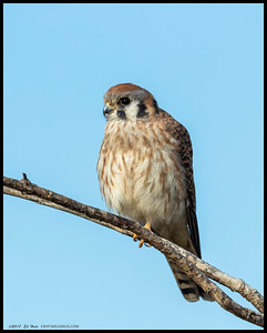 One of the female Kestrels was perched on a lower tree branch after eating another grasshopper.