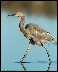 A very young Reddish Egret stalking towards another spot to catch das fishes.