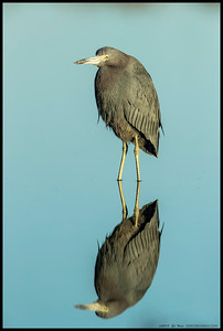 A Little Blue Heron bunched up and just basking in the early morning light.