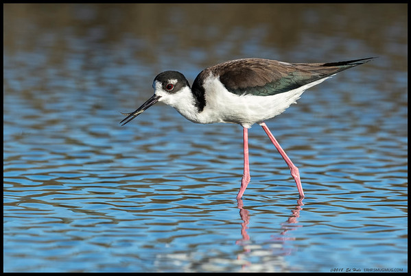 A female Black Necked Stilt catching a fish for an afternoon snack.