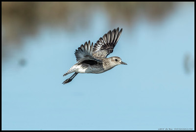 One of the Black Bellied Plovers was apparently late for a date.