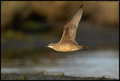 A Whimbrel making a quick flight through.