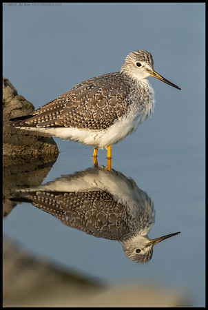 You will not find me complaining about the almost perfect reflection of this Greater Yellowlegs.