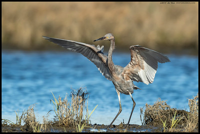 A juvenile Reddish Egret just after touchdown.