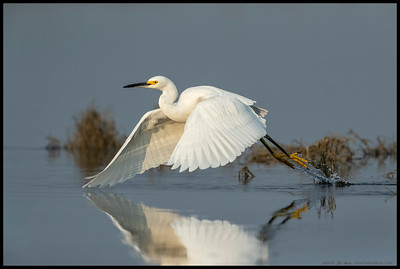 A Snowy Egret going to once again try and steal a fish or two from the diving Eared Grebes.