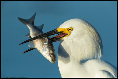 This Snowy Egret had aspirations of catching and eating a big fish though it never quite got it down the gullet.