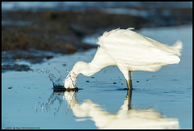 Snowy Egret making a hole in the water for better fish access.