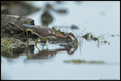 A juvenile TriColored Heron making a hole in the water to see the fishes.