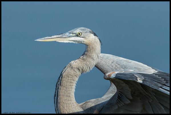 One of the juvenile Great Blue Herons stopped by for a photo shoot, without an appointment if you can believe that.