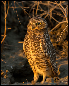 One of the winter resident Burrowing Owls watching the sunset.