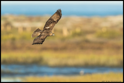A juvenile Red Tailed Hawk in a sweeping turn over the San Diego River.