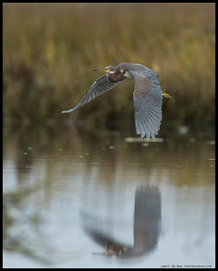 Juvenile Tricolored Heron on a short flight to the other side of the river.