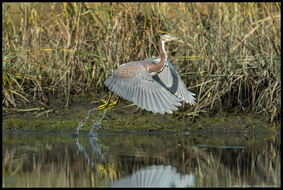Juvenile TriColored Heron on liftoff, complete with water trails.