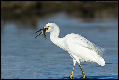 I was hoping the Snowy Egret would do a toss or two but since it stayed in the water, I guess it just wanted to get the meal down the gullet fast.