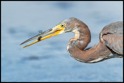 Sometimes they really do get close while fishing.  Juvenile Tricolored Heron.
