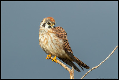 Female American Kestrel, still a little fluffed up from the brief splattering of rain that had just fallen on us.