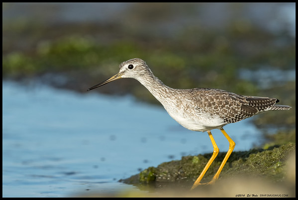 Greater Yellowlegs, aka 'Crazy Legs' , during a brief pause before taking off as another one approached.