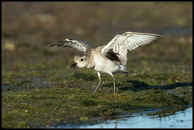 Black Bellied Plover following rule #18, Limber Up.