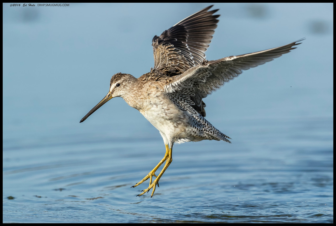 One of the dowitcher's going through the airborne fluff cycle.  The funny part, they are either too far away to get a frame filling shot, or too close to catch them with the wings fully outstretched.  First World problems and all that.