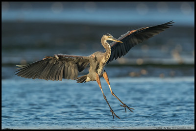 Great Blue Heron a second before touchdown