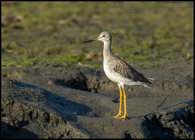 Greater Yellowlegs stretching to be as tall as possible.