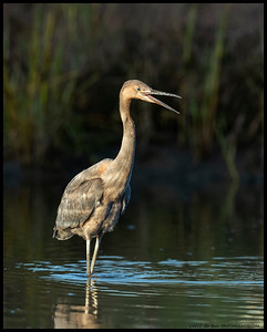 A very juvenile Reddish Egret looking for a snack in the waters of Famosa Slough
