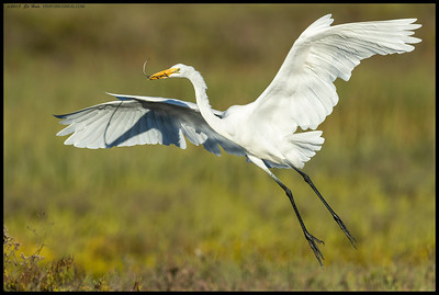 A Great Egret bringing a stick over.  A bit early in the season but practice makes perfect.