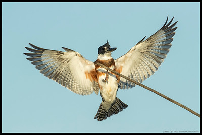 A juvenile female Belted Kingfisher coming for a landing.