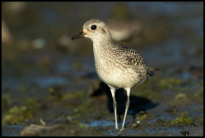An inquisitive juvenile Black Bellied Plover cautiously approached to look into the lens.