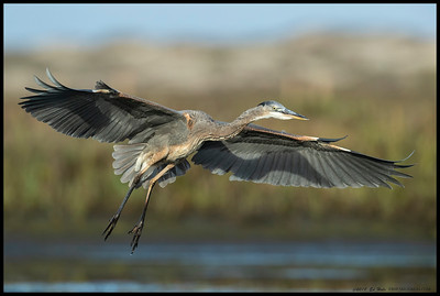 One of the Great Blue Herons coming in for a landing.