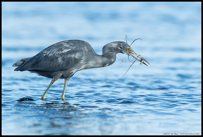 A molting Little Blue Heron with dinner and a salad.