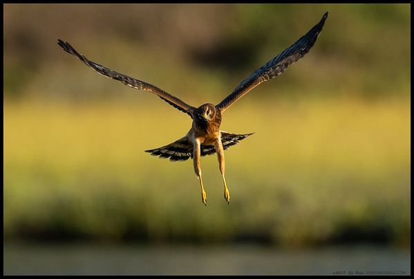 A female Northern Harrier had everything worked up and moving in the late afternoon light.