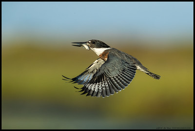 A female Belted Kingfisher heading back to the perch with breakfast part deux.  First day I've actually seen her catch a meal.